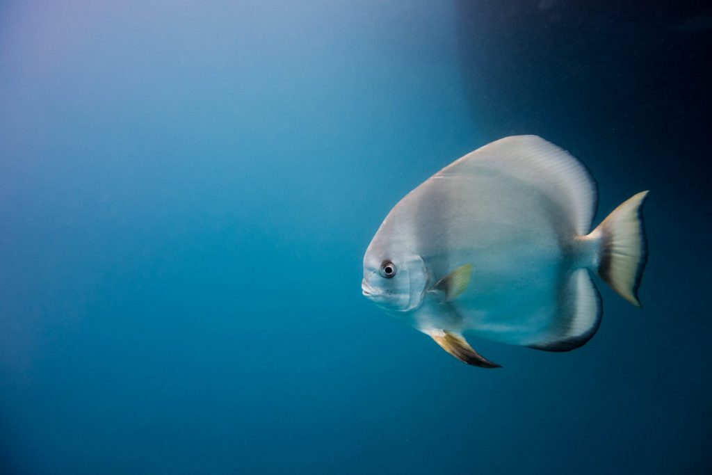 Longfin batfish on the Great Barrier Reef. Photo by Teddy Fotiou.