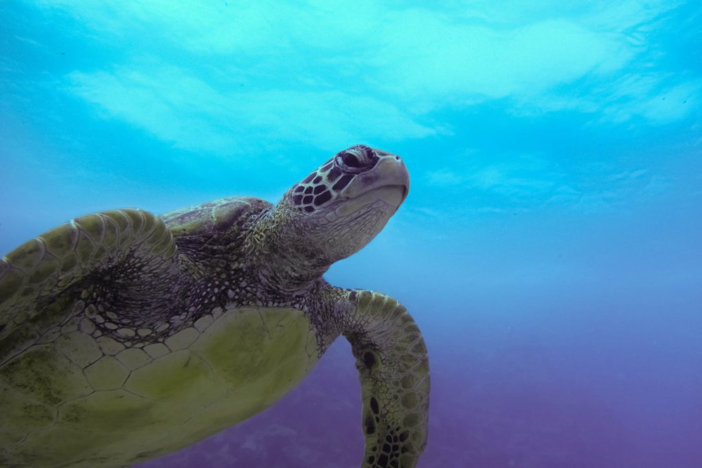 Green sea turtle on the Great Barrier Reef. Photo by Teddy Fotiou.