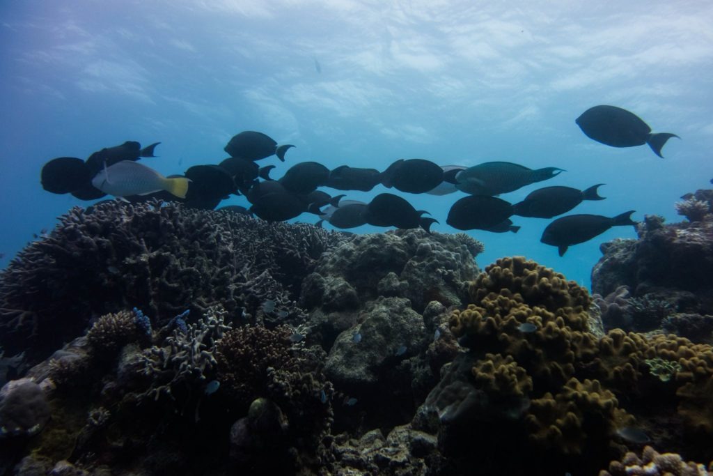 School of ringtail surgeonfish. Photo by Teddy Fotiou.