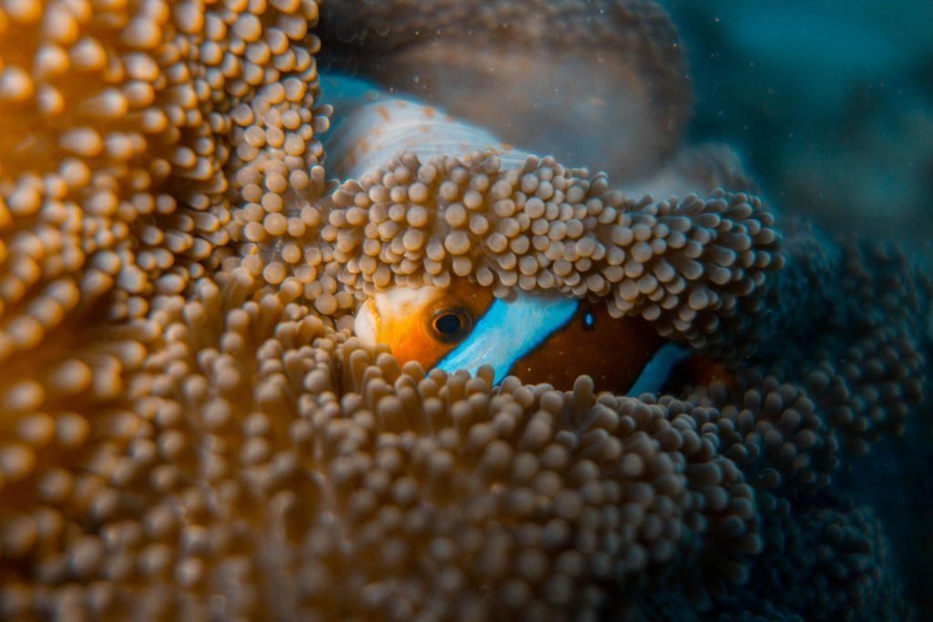 Barrier reef anemonefish. Photo by Teddy Fotiou.