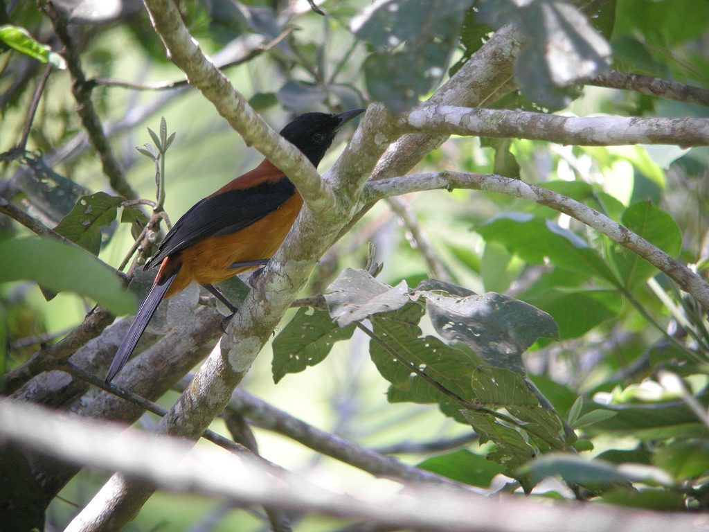 hooded_pitohui-photo-by-markaharper1